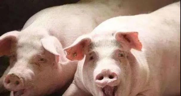 陕西商洛:第一笔生猪农业保险理赔款发放到户