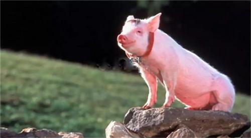 以不变应万变!提高免疫力是养猪应对一切疾病挑战的关键