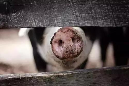 仇华吉:非洲猪瘟将加快养猪业的转型升级