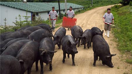 山西严格生猪入晋销售通道 非指定道口运入不接收