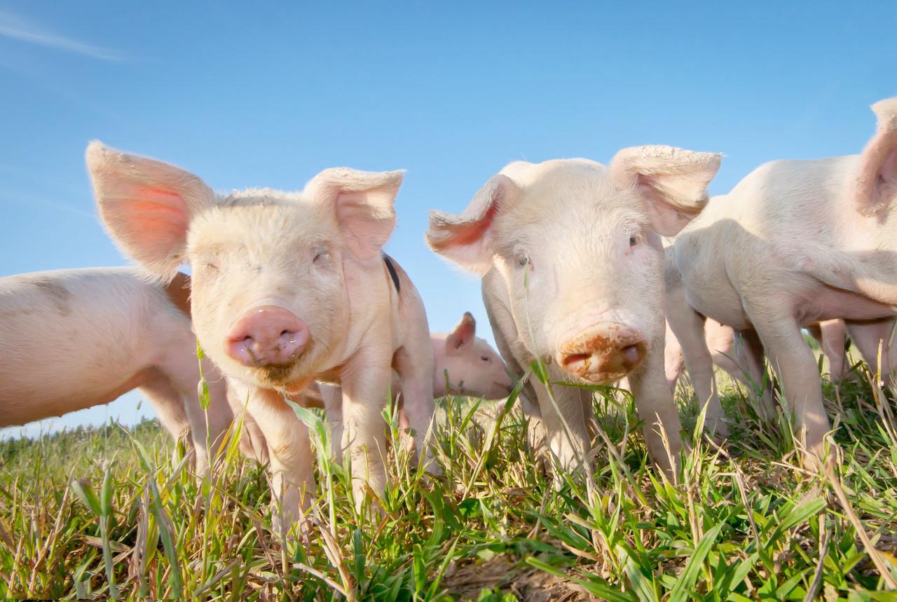 """平安产险河南分公司成功落地首单生猪饲料""""保险+期货""""项目,助力养殖企业复工复产"""