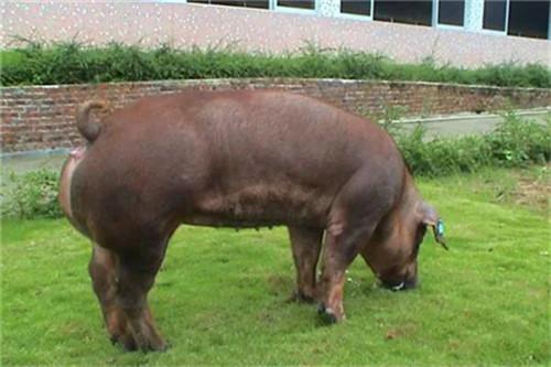 猪肉价格又涨了!万科跨界养猪正式启动!