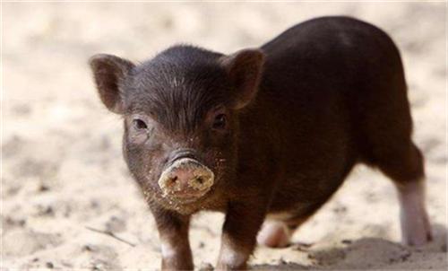 广汉一猪场4000头猪下落不明?还好,只冲走仔猪150余头