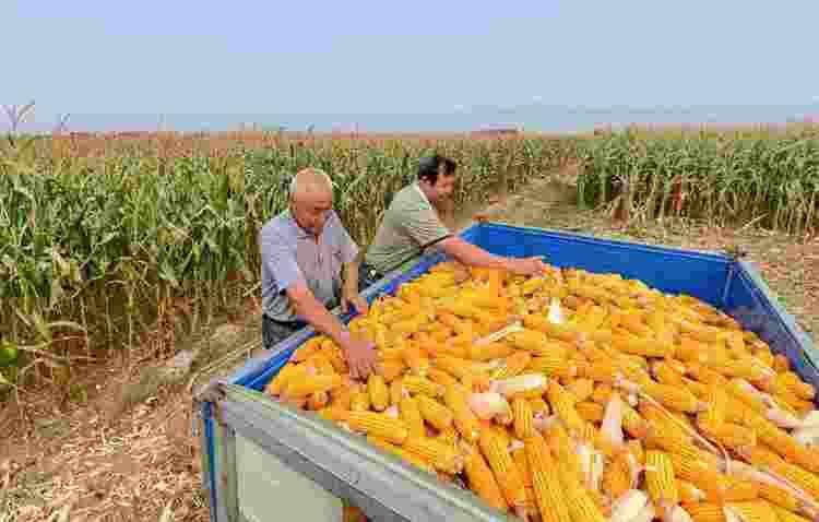 8月13日全国玉米价格行情,玉米行情继续低迷,利空因素多处于阶段性看跌!