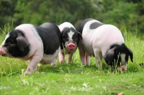 伊维菌素在治疗猪疥螨病和猪虱病中的应用