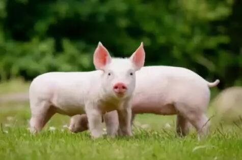 """四川营山:推进一体化规模化标准化养殖 建起378个生猪""""工厂"""""""