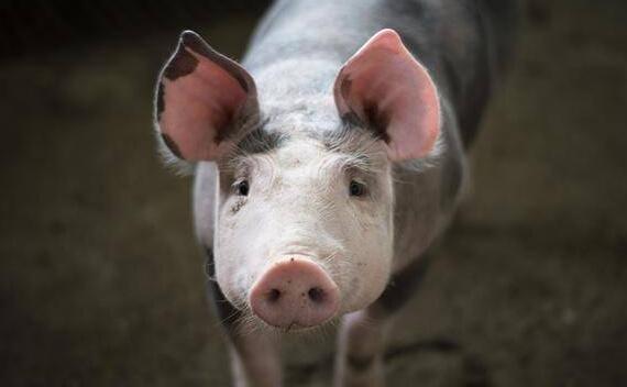 金瑞期货江西定南猪饲料价格险试点项目入场