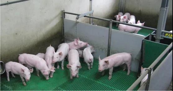 """注射""""异普克""""替代公猪去势:生产效率更高,猪肉品质更好,还可减少抗生素使用!"""
