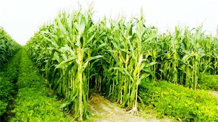 8月14日全国玉米价格行情,供应紧张局面缓解,玉米价格下调!