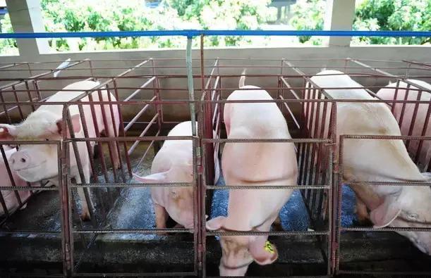 管理:规模化猪场后备母猪的高效管理法