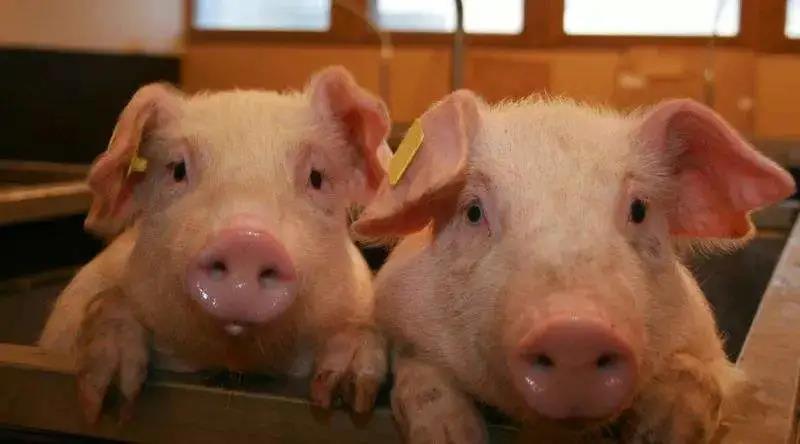 """市场充斥""""降价促销猪""""1头猪=2018年10头猪利润!"""