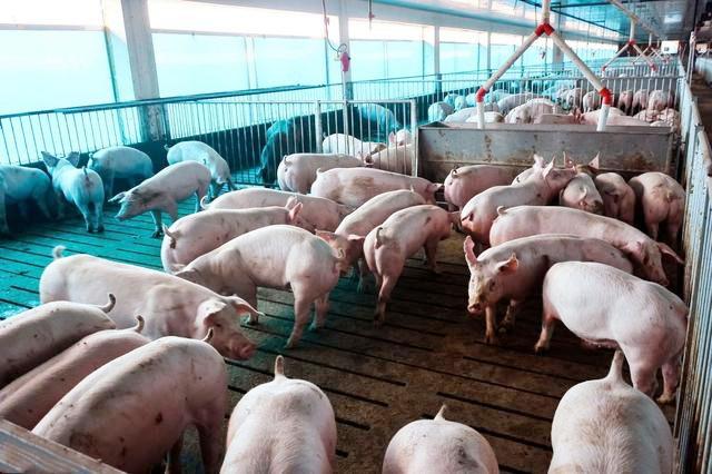 """猪价高涨,要想养猪更赚钱,肥猪的饲养要掌握""""4大技术要点"""""""