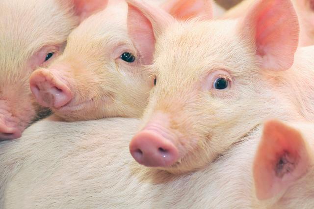 农村养猪需要的5大关键技术,顺应市场才是主旋律