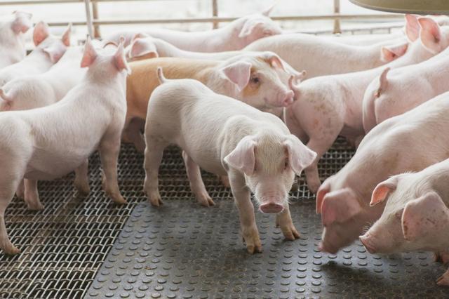 繁育技术:母猪返情不断上演的根源何在?