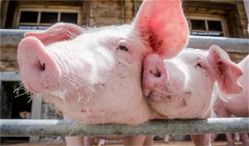 四川广元市昭化区 全力推进生猪稳产保供