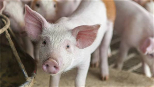 天康农牧:生猪养殖全产业链项目正有序推进