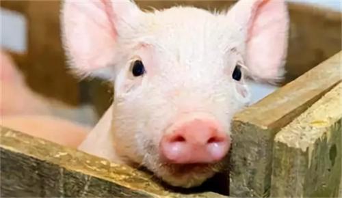 仔猪黄白痢发生病源是什么?如何有效预防?