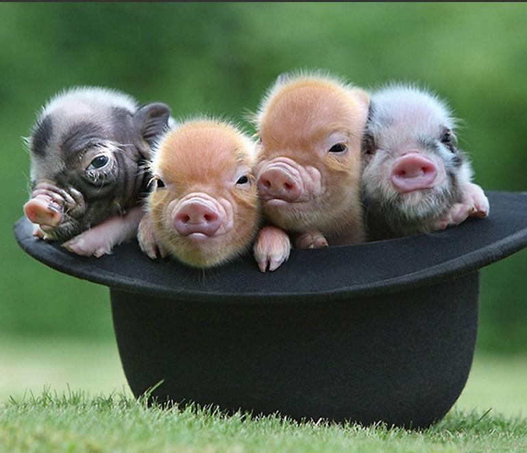 8月15日全国10公斤仔猪价格表,今日山东寒亭仔猪报价最低!