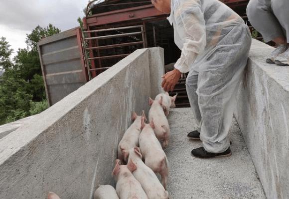 小猪出栏!专业化养殖带动剑河县生猪产业稳步发展