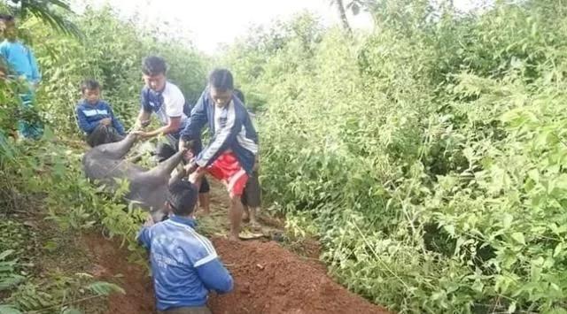 缅甸贫困小镇因猪患有圆环病上千头生猪死亡
