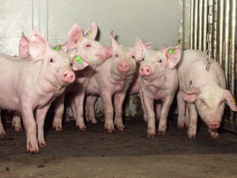 """9月长沙,邀您围观荷兰视角下""""重塑中国养猪业的最佳实践"""""""