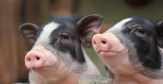 湖北省农业农村厅开展救灾扶贫种猪捐赠活动和非洲猪瘟防控调研工作