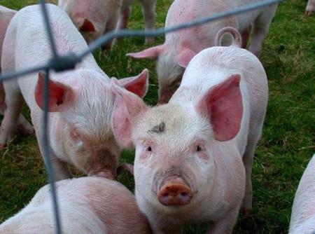 坚守地方金融初心 西安银行渭南分行支持生猪养殖产业发展带动脱贫攻坚