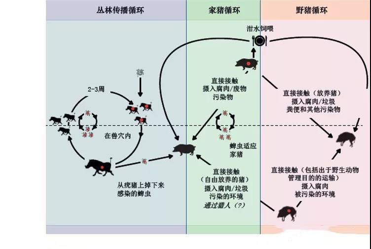 非洲猪瘟:非瘟的传播途径有哪些?
