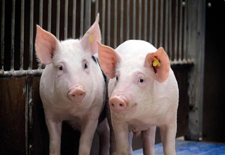 国内单体面积最大楼房养猪示范基地鄂州奠基