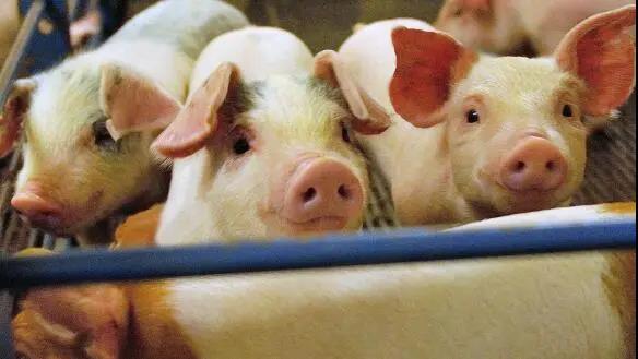 行情点评:重大利好,猪肉价格上涨仍将持续!