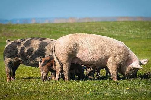 """万科:在""""新手""""眼中 生猪养殖业依然大有机会"""