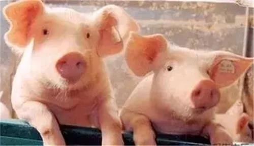 养猪场的小细节:设计好了,盈利翻十倍!
