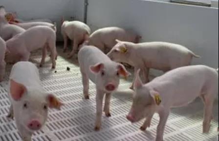 同样6个月的猪,为啥你的220斤他的250斤!!