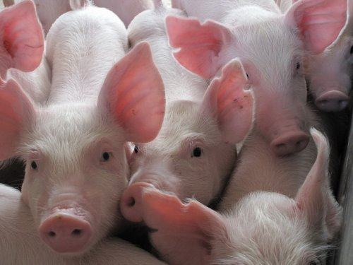 四川宜宾:洪水猛涨猪仔遇险 民警抱猪照走红
