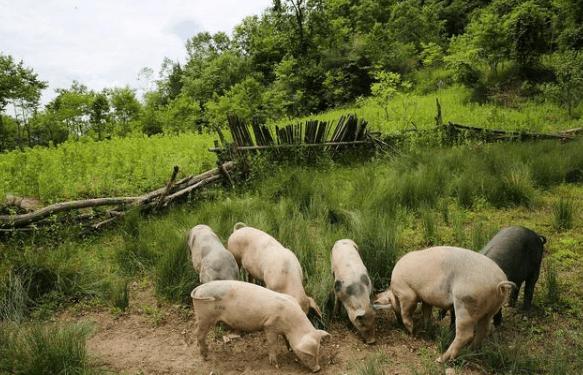 """""""非瘟疫苗""""真的要来了!猪肉价格要降了吗?养猪还能赚钱吗?"""