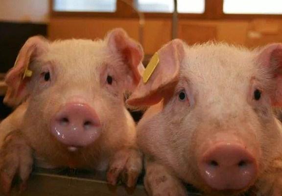 如何挑选仔猪?10个方法,一起来学习下吧!