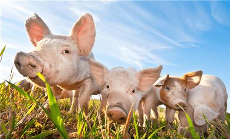 江西鹰潭市召开促进生猪复养 保障市场供应新闻发布会