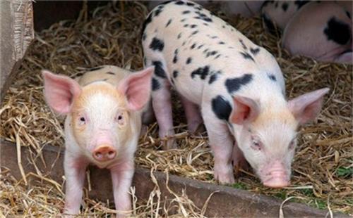 """猪价""""涨红一片"""",9月猪价要""""大踏步""""上涨?专家:警惕2大风险"""
