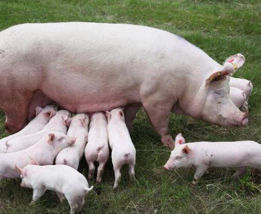 繁育技术:母猪多次配种配不上,其原因有二!