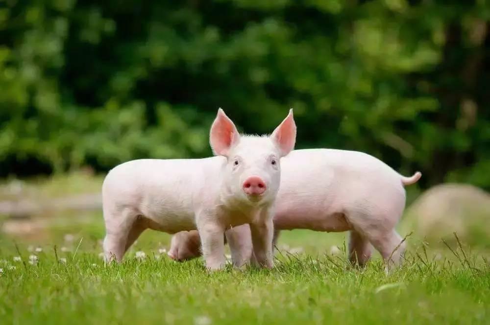 8月18日全国15公斤仔猪价格表,仔猪价格仍处高位,云南均价为1900元每头!