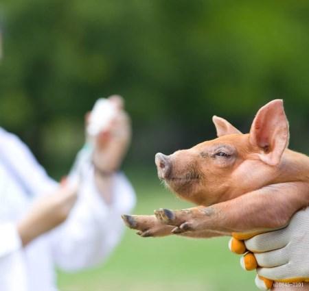 开展生猪屠宰环节飞行检查 保障肉食品安全