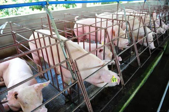 广东云浮新增两座现代化生猪养殖场,总投资4.45亿元