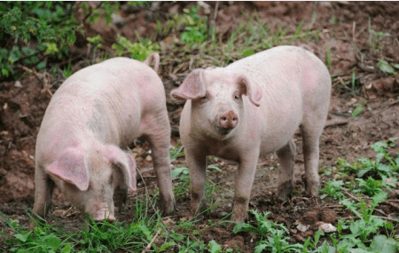 生猪产能逐月回升,天邦股份上半年同比扭亏为盈