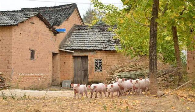 50万吨储备肉投放市场!为何猪肉价格却不见跌?啥时能吃便宜肉?