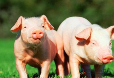 池永强:身带假肢奋斗脱贫 从借1万元买2头猪发展至90头