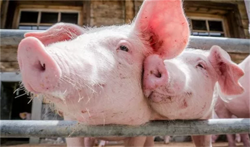 养猪场石灰消毒的三大误区 小心你的消毒白做了