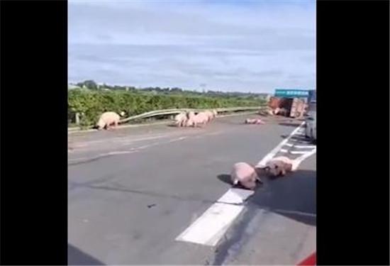 黑龙江:男子打求助电话,30多头猪把我堵高速上了