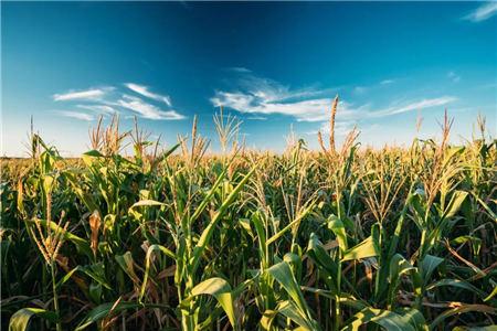 玉米行走势:市场进入冷静期,玉米价格涨不动了吗?