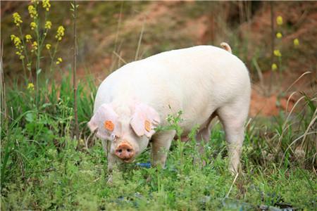 广西藤县:60万头生猪养殖全产业链项目开工建设