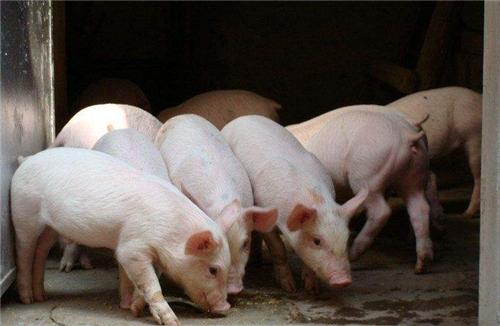 仔猪断奶后越来越瘦?猪副嗜血杆菌病,养猪一定要防的慢性病